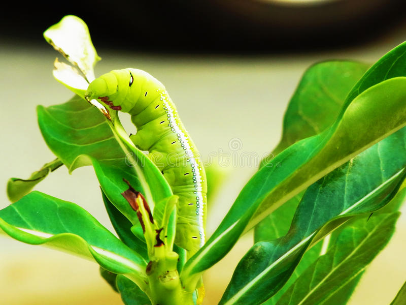 Caterpillar. A voracious caterpillar are eating leaves stock image