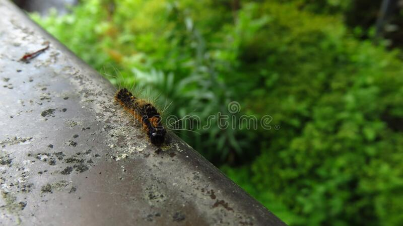 Caterpillar Walking on the Edge of a Fence royalty free stock photo