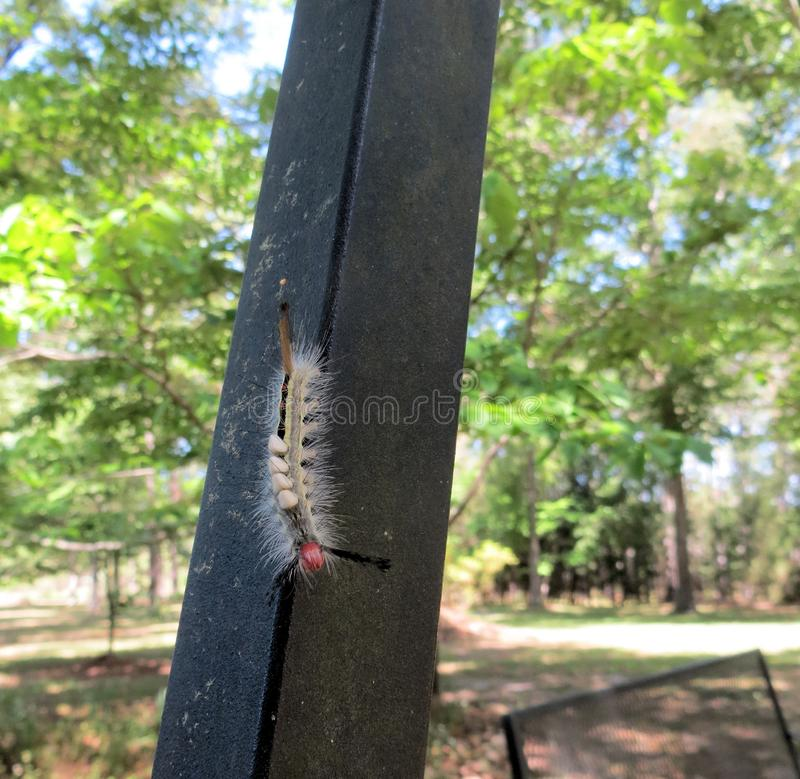 Caterpillar with wasp eggs. A caterpillar with wasp eggs attached to the body crawling down the legs of a swing stock photos