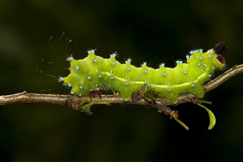Caterpillar Wielki Pawi ćma Saturnia pyri obraz royalty free