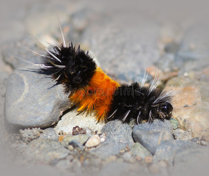 All Black Woolly Bear Caterpillars: Caterpillar (Wooly Bear) Stock Image. Image Of Caterpillar