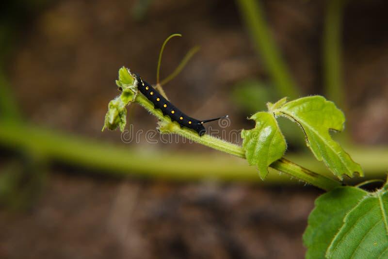 Caterpillar worm immagini stock libere da diritti