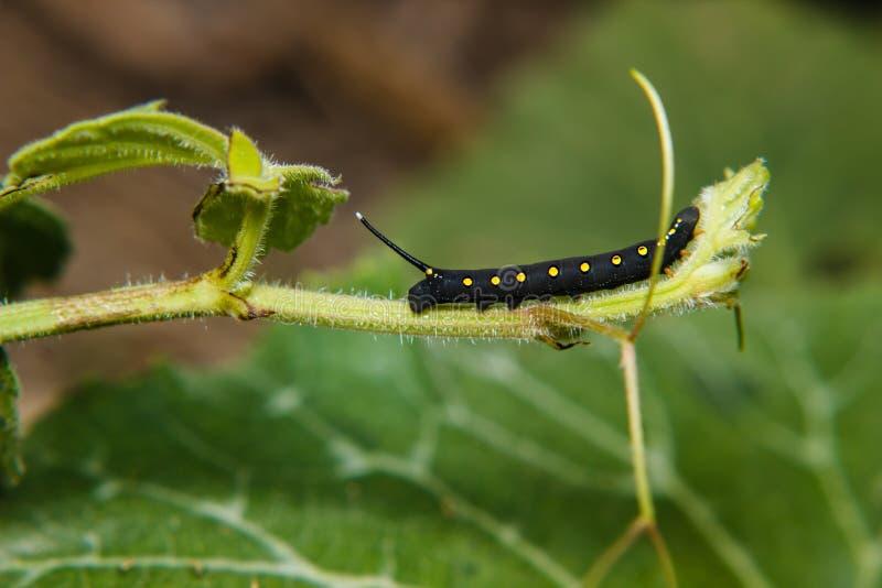 Caterpillar worm fotografia stock libera da diritti