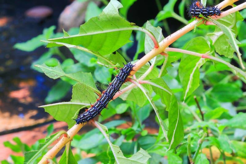 Caterpillar worm la camminata a strisce in bianco e nero sul testacea di Eupterote della foglia, fuoco scelto del trattore a cing fotografia stock libera da diritti