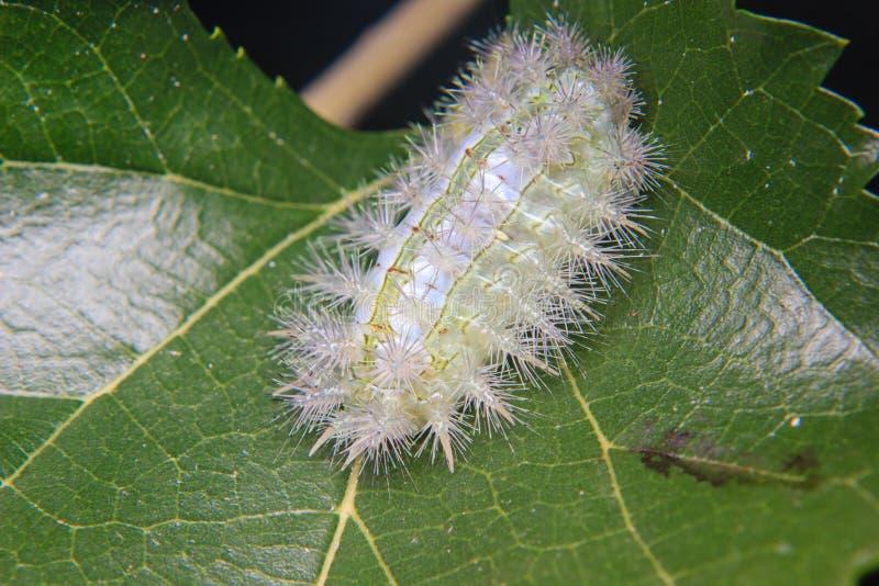 Caterpillar worm sulla foglia fotografia stock libera da diritti