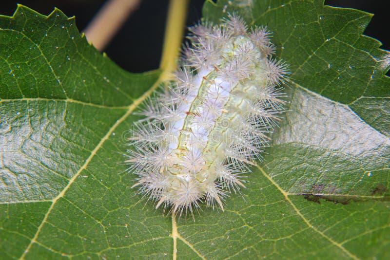 Caterpillar worm sulla foglia immagine stock libera da diritti