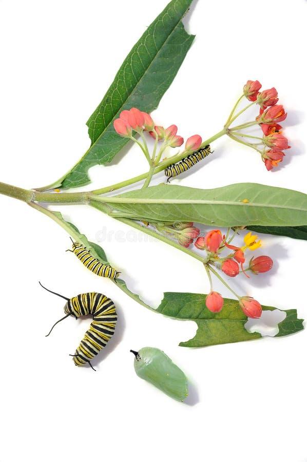 Caterpillar y crisálida, mariposa de monarca, al lado de la planta imágenes de archivo libres de regalías