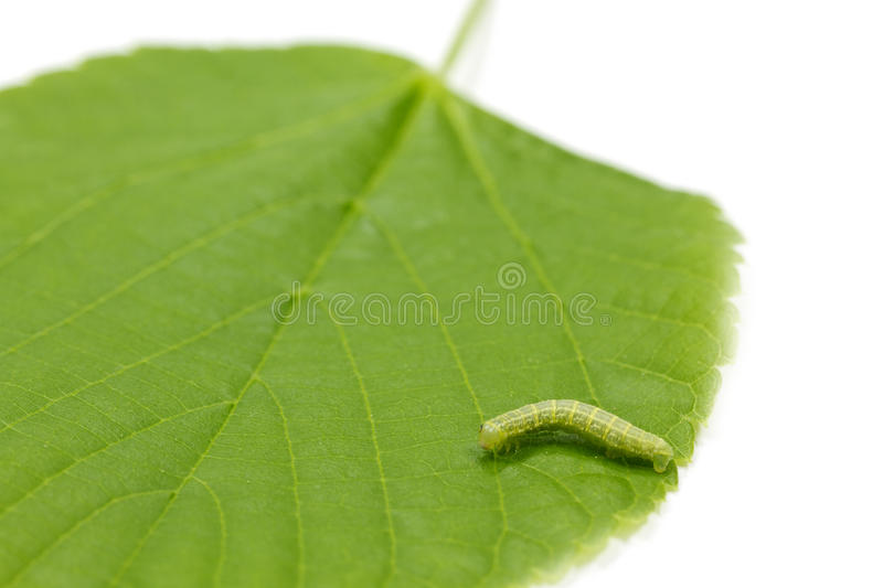 Caterpillar on a young hazel leaf. Caterpillar and hazel leaf (Corylus Avellana) on white with shallow DOF royalty free stock photography
