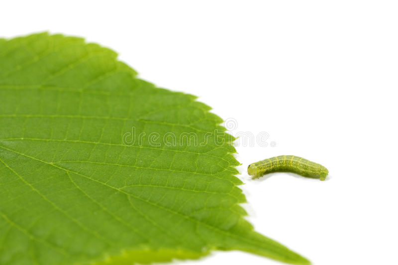 Caterpillar and young hazel leaf. Caterpillar and hazel leaf (Corylus Avellana) on white background with shallow DOF stock photography
