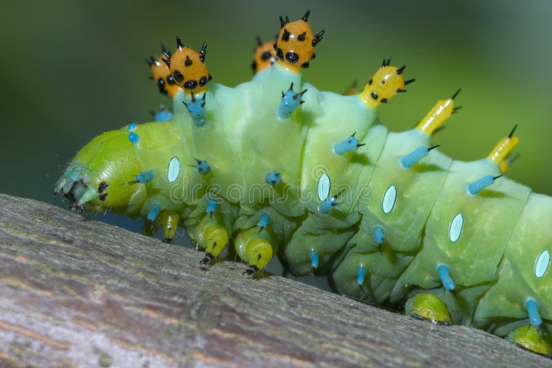 caterpillarcecropiamal arkivbild
