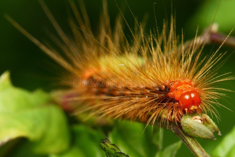 caterpillarframsidamakro arkivbild