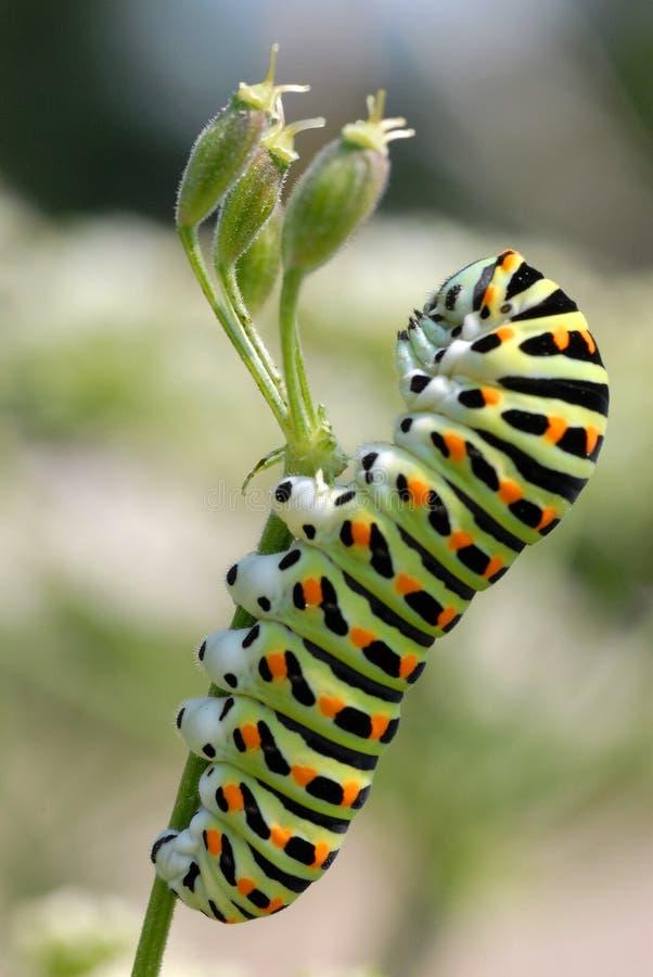 caterpillargrässwallowtail arkivfoton