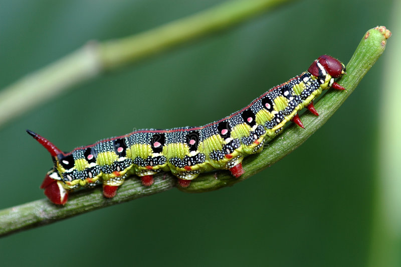 caterpillarmakro royaltyfri foto