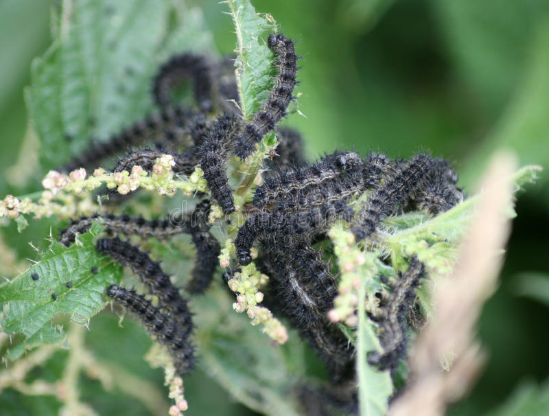 Caterpillars. Of the Small Tortoiseshell Butterfly royalty free stock image