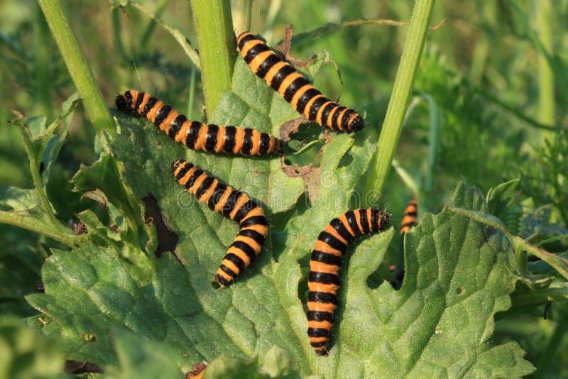 Caterpillars royalty free stock photos