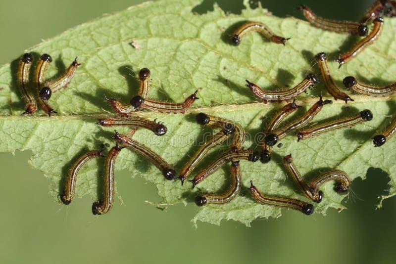 Free Caterpillars Stock Image - 5917211