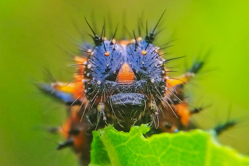 caterpillars royalty free stock images