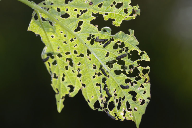 Caterpillars chewing a leaf royalty free stock photo