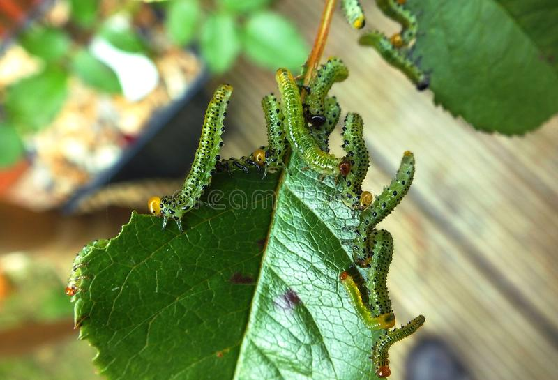 Caterpillars devouring a rose leaf. These voracious caterpillars decimated this rose bush leaf in 1/2 day royalty free stock photo