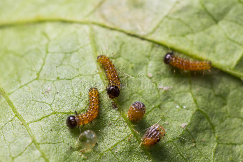 Caterpillars and eggs. Close up of newly hatched caterpillars and mature eggs of leopard lacewing (Cethosia cyane euanthes) butterfly on its host plant leaf stock photography