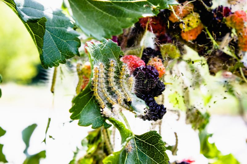 Caterpillars feed on mulberry leaves. Insect pests devour the green leaves of the mulberry tree royalty free stock photography