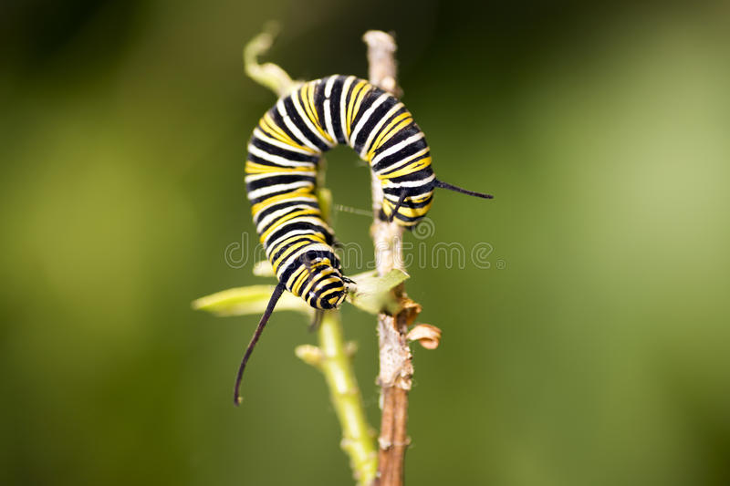 Caterpillars are the larval form of members of the order Lepidoptera stock photos