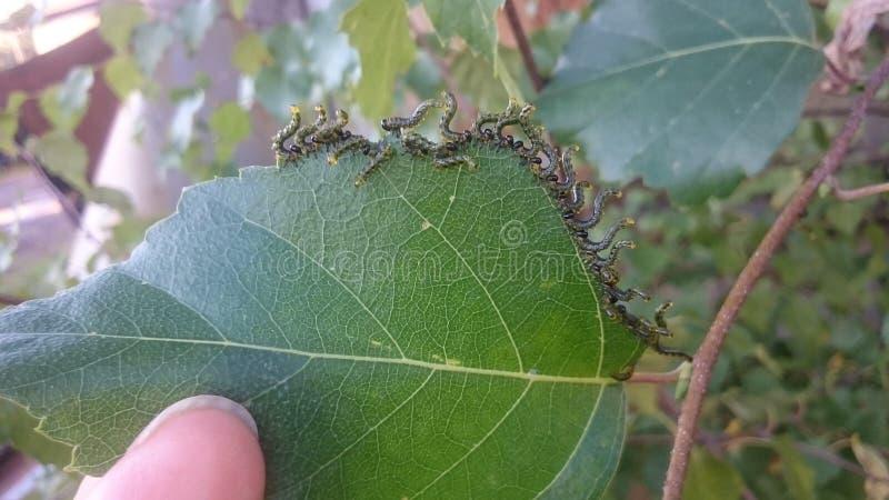 Caterpillars stock photo