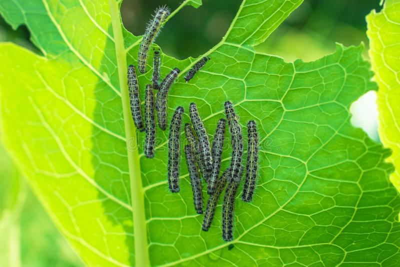 Caterpillars sit in a heap on a green bush royalty free stock image