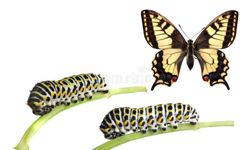 Caterpillars of the swallowtail stock image