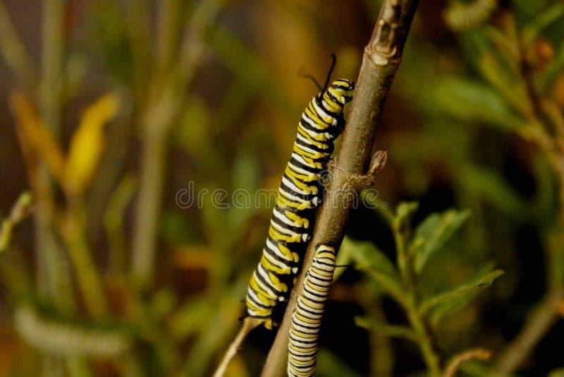 Caterpillars stock image