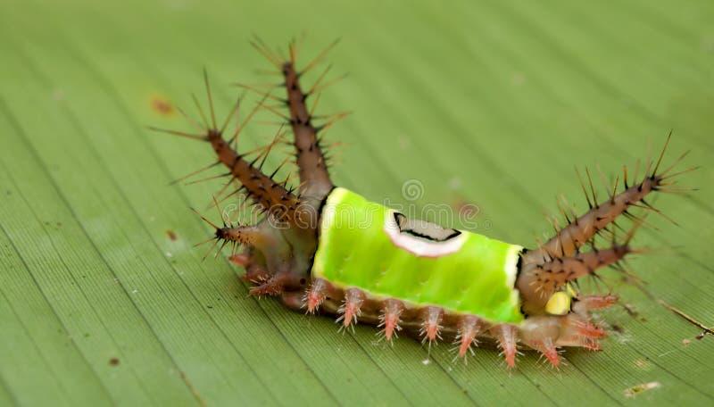 caterpillarsaddleback royaltyfria foton