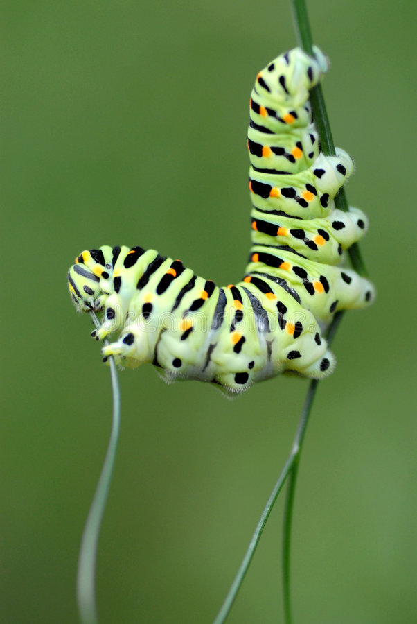 caterpillarswallowtail royaltyfri bild