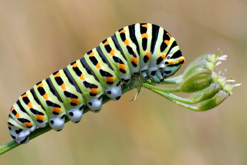 caterpillarswallowtail arkivbild
