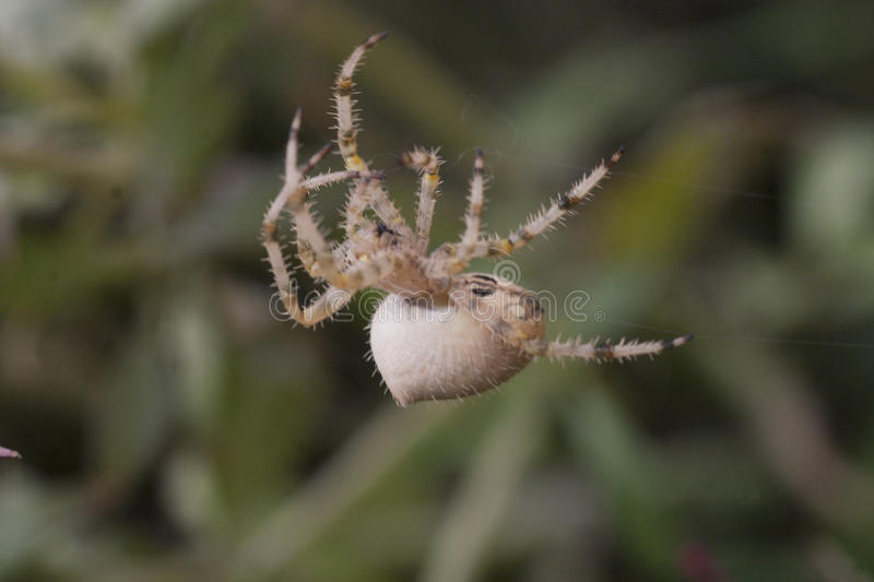 Catfaced Spider, Colorado stock image