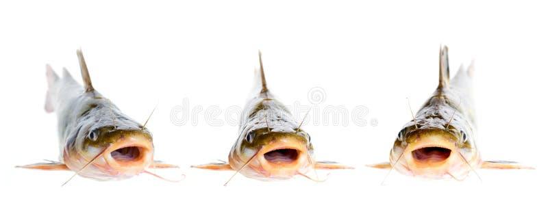 Catfish royalty free stock photos