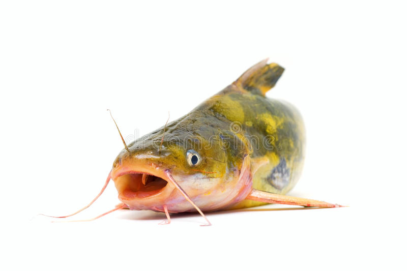 Download Catfish stock photo. Image of animals, catfish, healthy - 16267670