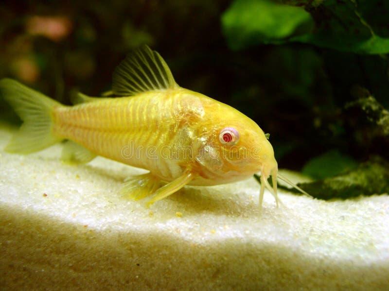 Catfish stock image