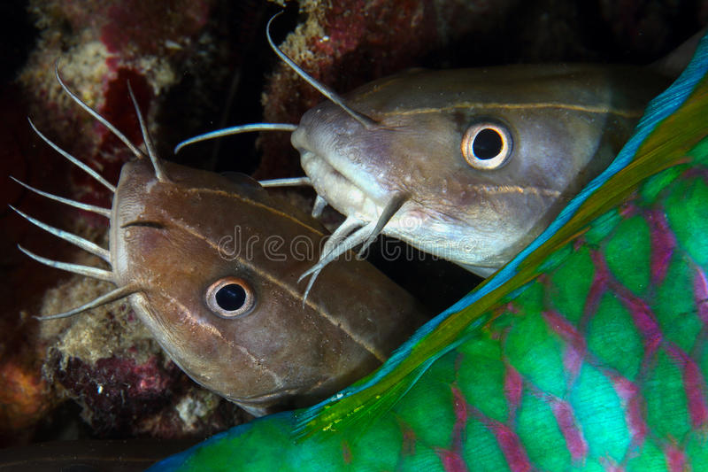 Catfish behind parrot fish, Pulah Weh , Banda aceh , Indonesia. Face of Catfish behind parrot fish, Pulah Weh , Banda aceh , Indonesia stock photos