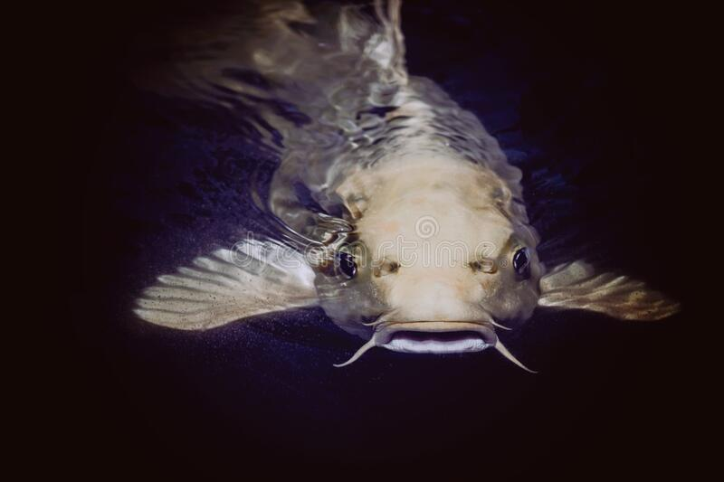 Catfish In Body Of Water Free Public Domain Cc0 Image