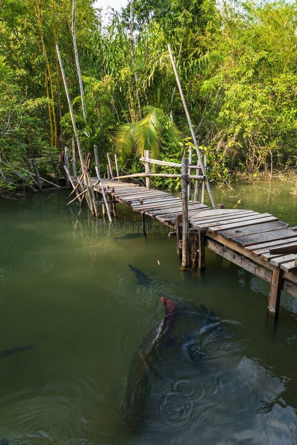 Catfish farm in Thailand. Giant arapaima under water royalty free stock image