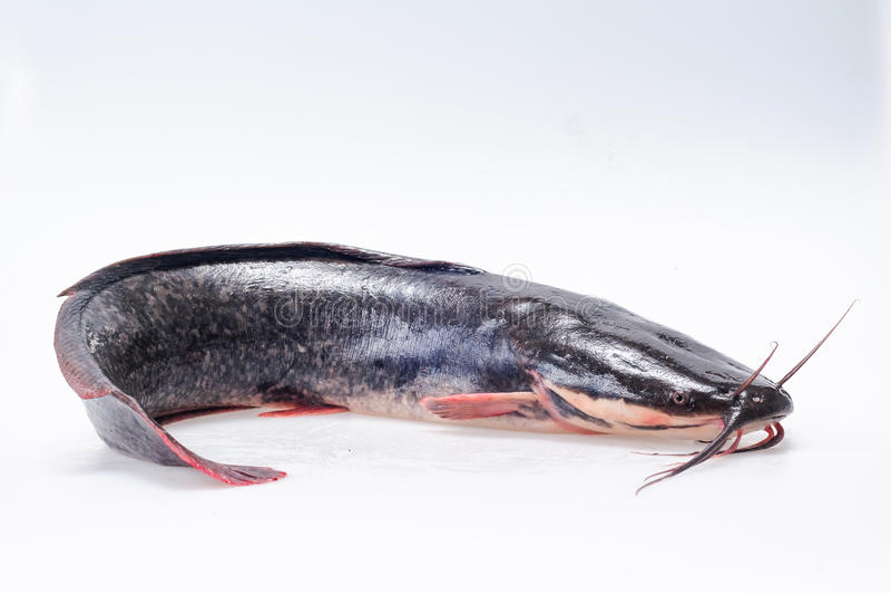 Catfish stock photography