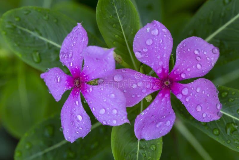 Catharanthus roseus G.Don stock photos