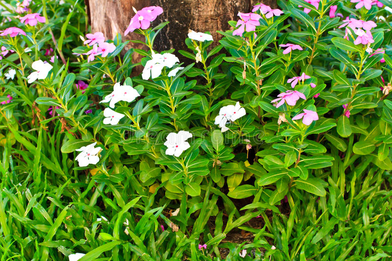 Catharanthus roseus i nieżywi drzewa zdjęcia stock