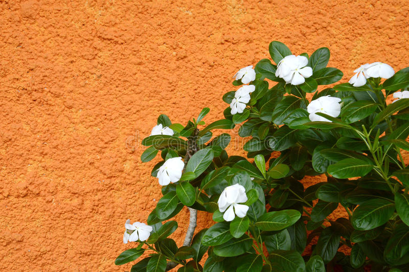 Download Catharanthus Roseus Royalty Free Stock Photo - Image: 32478685