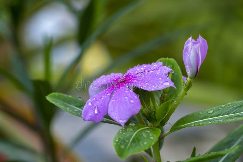 Catharanthusroseus G universitetsl?rare royaltyfria bilder