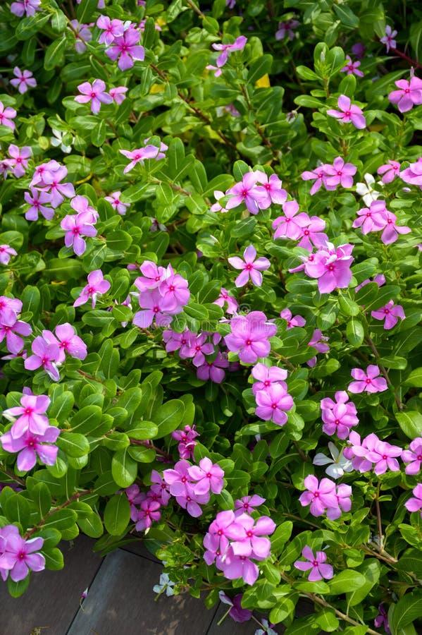 Catharanthusroseusblomma i naturträdgård arkivfoton