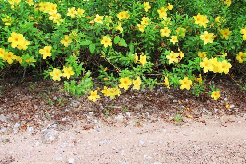 Cathartica allamanda красочных сладких цветков желтое с зеленым стержнем и листья зацветая и вися на бортовой прогулке стоковая фотография rf