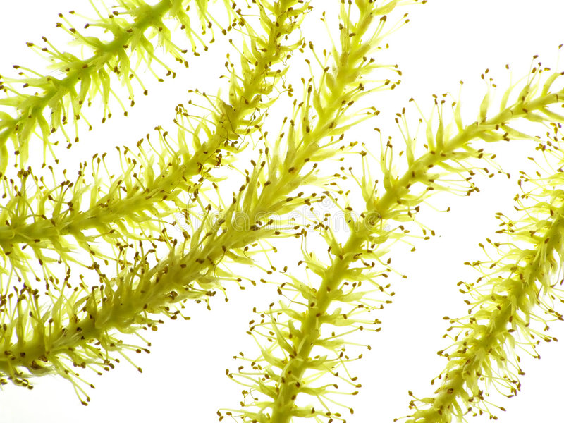 Catkin from weeping willow royalty free stock images