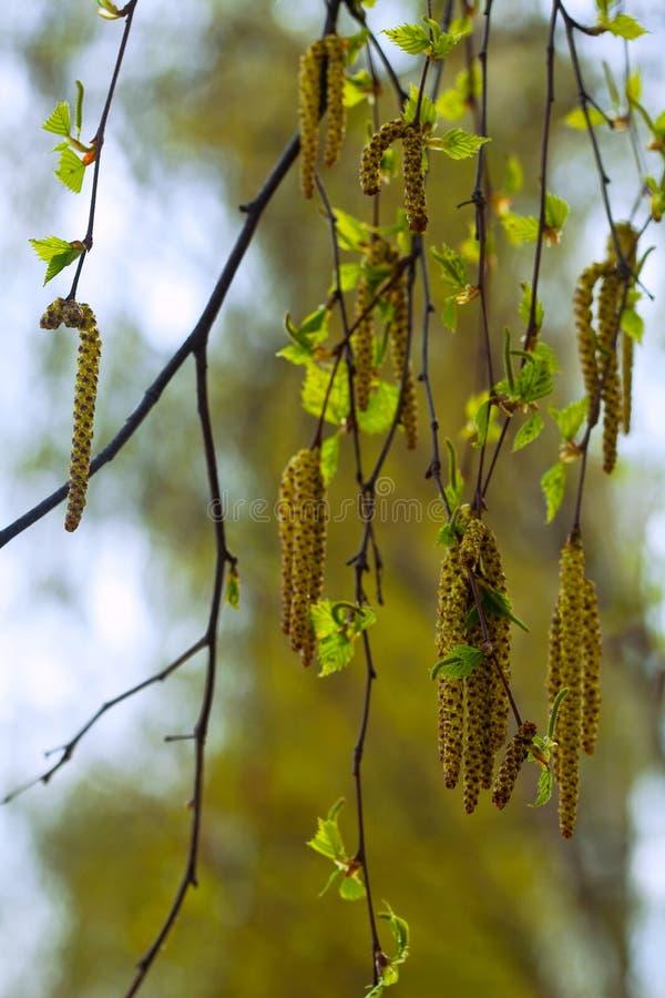 Catkins березы весной стоковое изображение