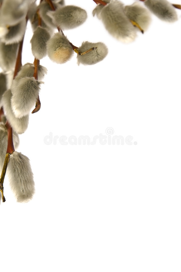 Catkins. Twigs of willow with catkins on a white background royalty free stock images